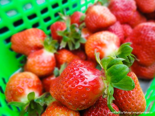 【景點】草莓的季節,玩家逍遙遊草莓園!