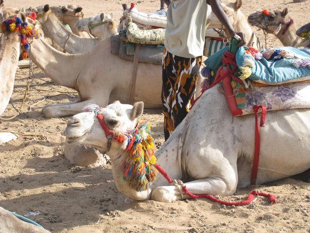 """駱駝都坐好在等我們""""上""""牠了"""